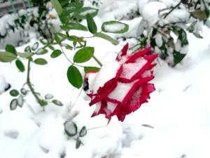 Фото - Як надійно укрити троянди на зиму