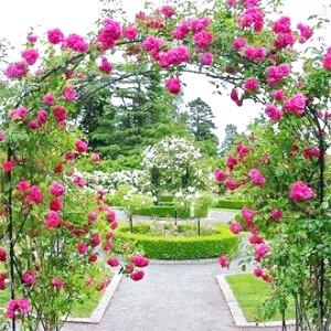 Фото - Як створити розкішний розарій в саду своїми руками